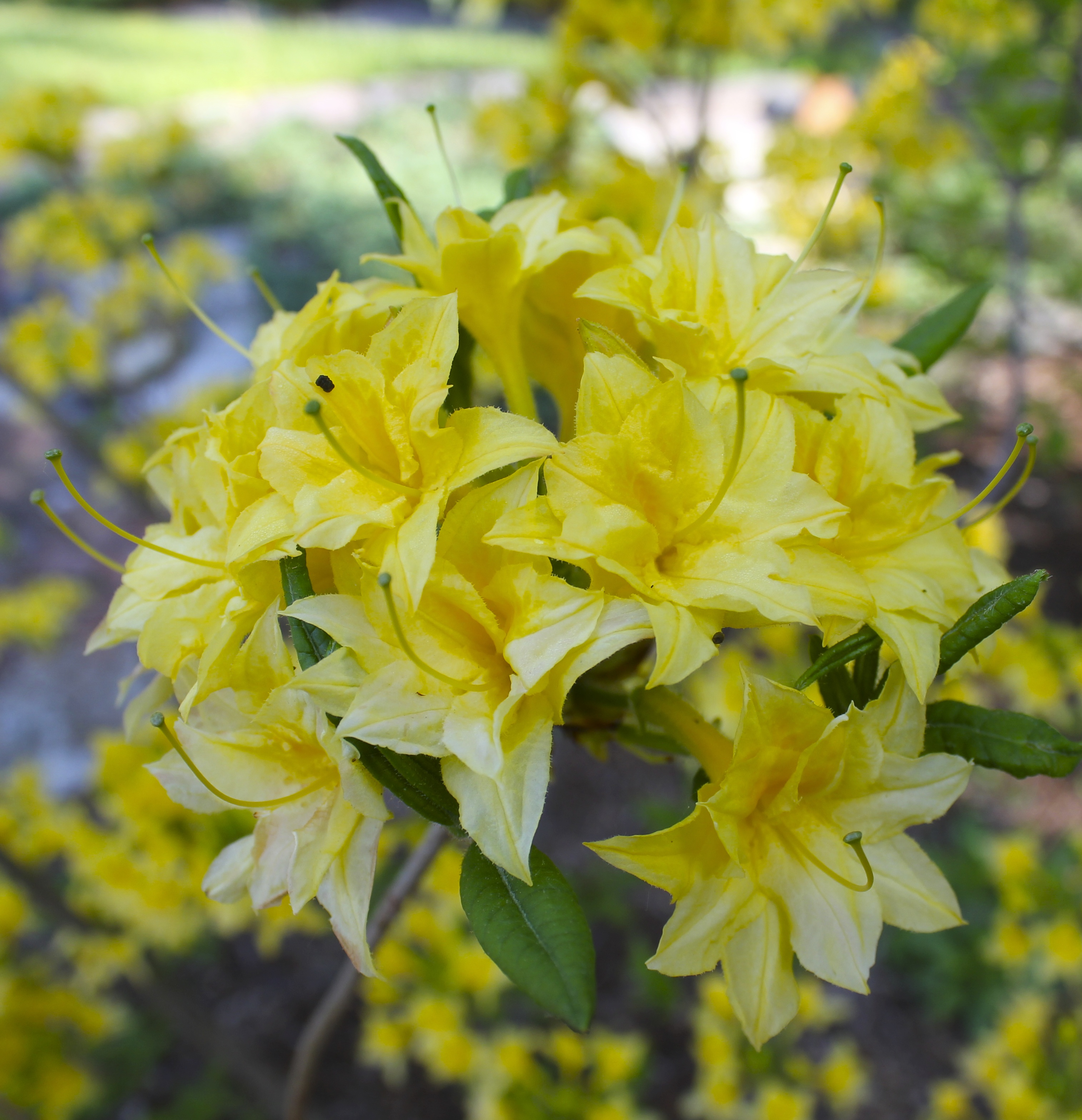 The yellow azalea in bloom excursions for The azalea
